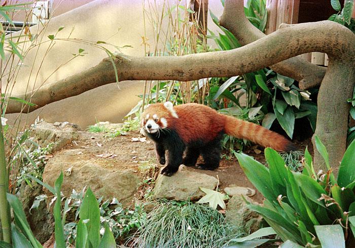 上野動物園・レッサーパンダ