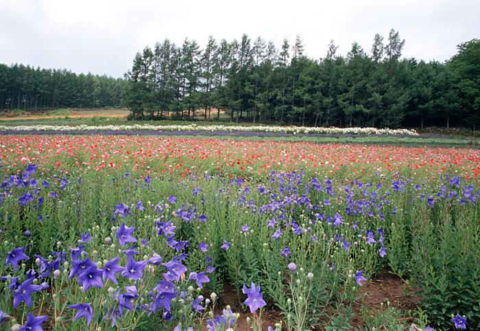 北海道・花畑