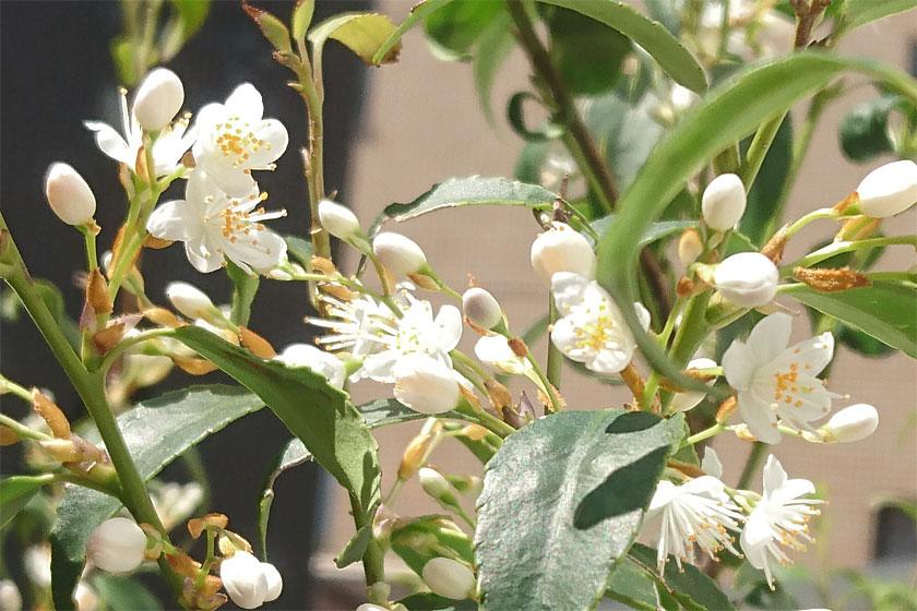 ハイノキの花